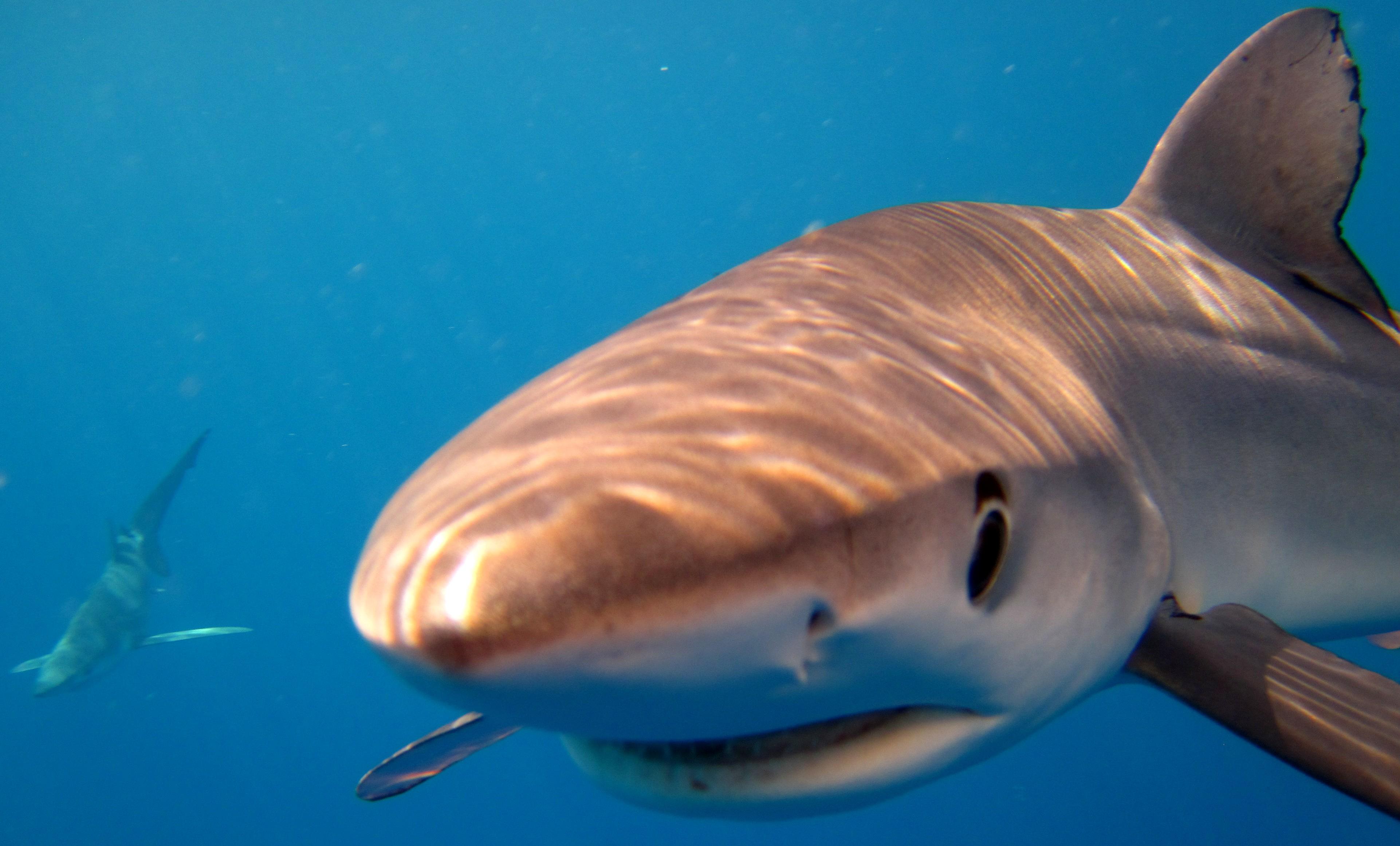 Blue Sharks Swim On The Waikato Independent