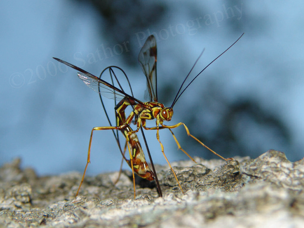 Ichneumon Wasp 3 Waiving Entropy
