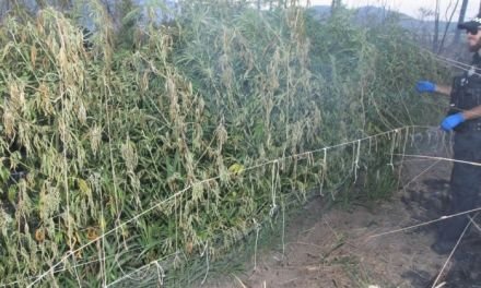 Police stumble upon huge cannabis crop during north Queensland bushfire