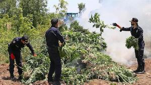 Turkish Authories Destroy 5.5 Million Cannabis Plants
