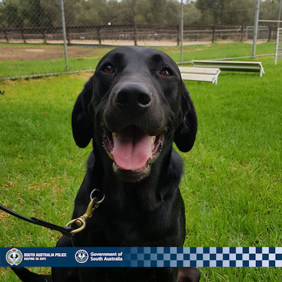 Australia: Pluto From Palmer The Police Dog Busts Weed Grower