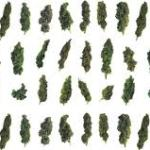 Weedmaps Guide: 7 weed strains for different situations