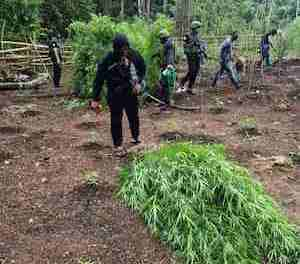 Philippines: P5 million marijuana seized from Sulu plantation, Abu Sayyaf Group Connections.