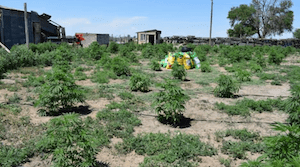 Colorado: Morgan County Sheriff's Office: Illegal marijuana grow seized