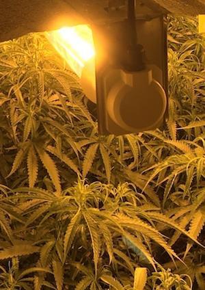 UK: Sussex cannabis factory: Drug dealer Lewis Hamer caught