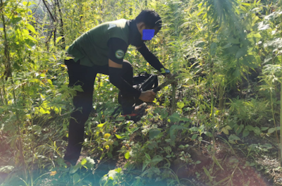 Philippine Narcs destroy P13.9M in marijuana plants in Kalinga town