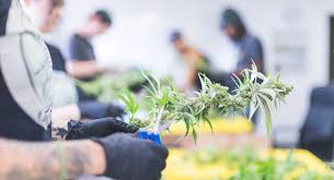 Forbes Article: The Legal Cannabis Industry Is Creating A New Workforce Amidst The Pandemic
