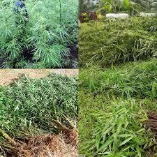 Fiji: 2000 Marijuana Plants Uprooted In Kadavu, Police Drug Fight Continues
