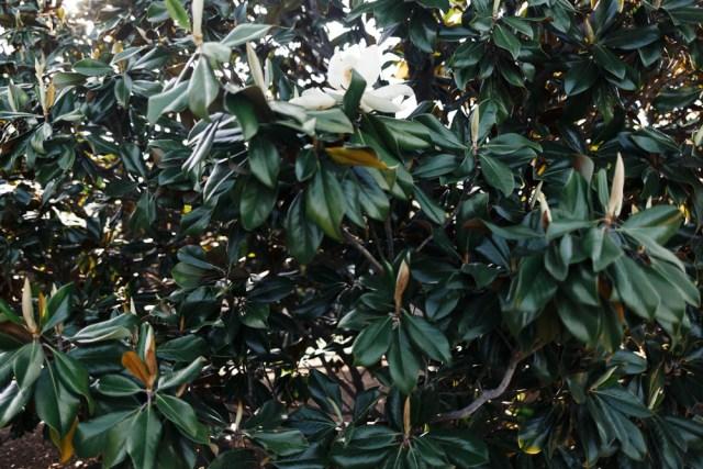Magnolias - Waketon Road Blog-5