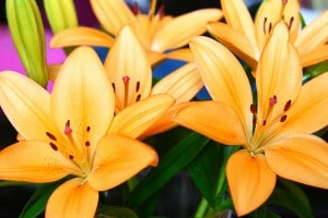 Flickr-lillies-apdk