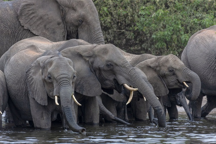 Botswana Auctions For Hunting Elephants