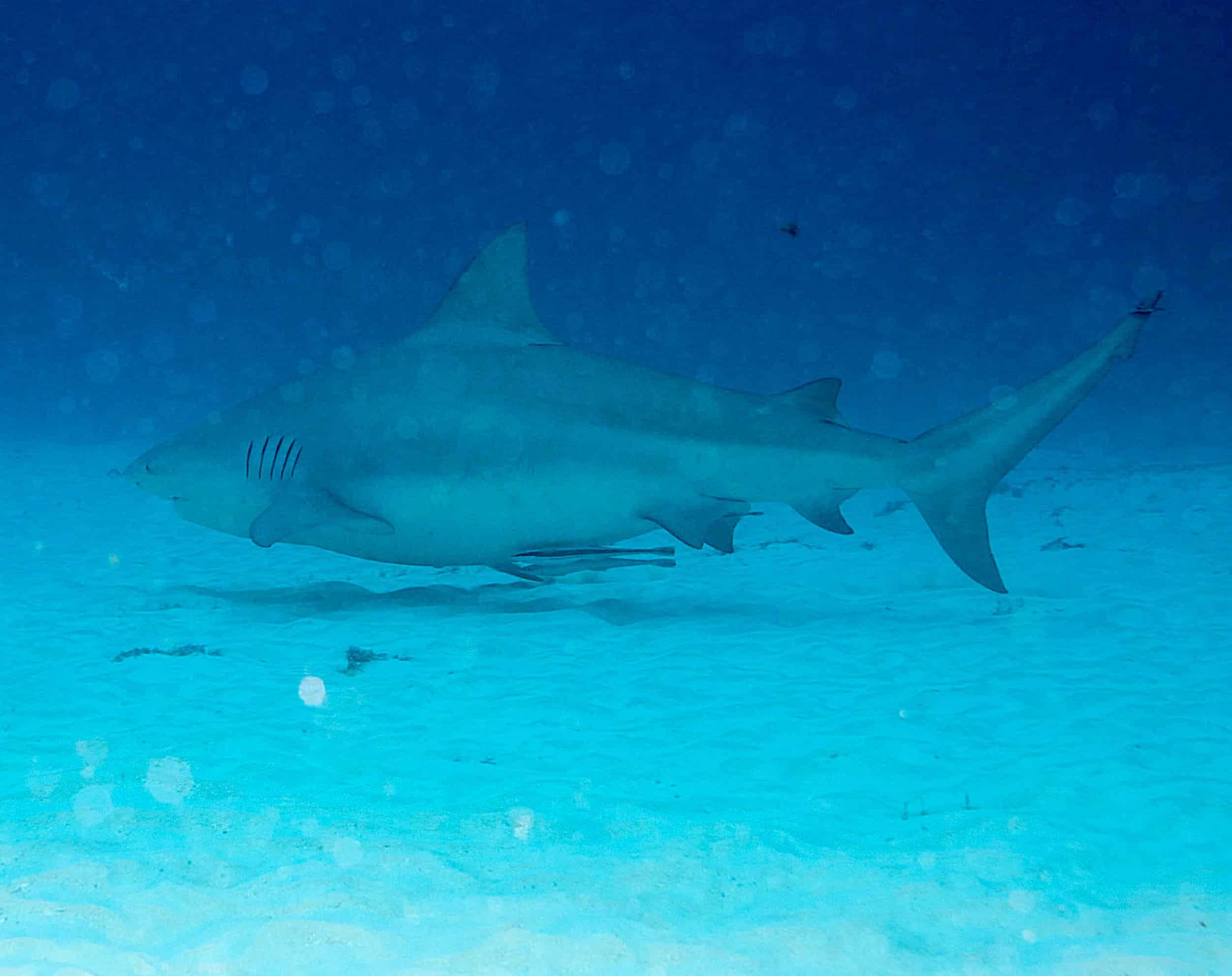 Bull Shark Diving in Playa del Carmen: What really happens