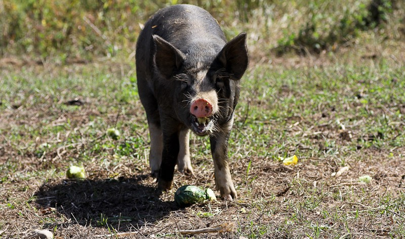 Well fed pigs are happy pigs