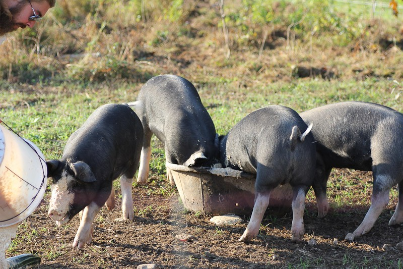 Rubber feed troughs for pigs
