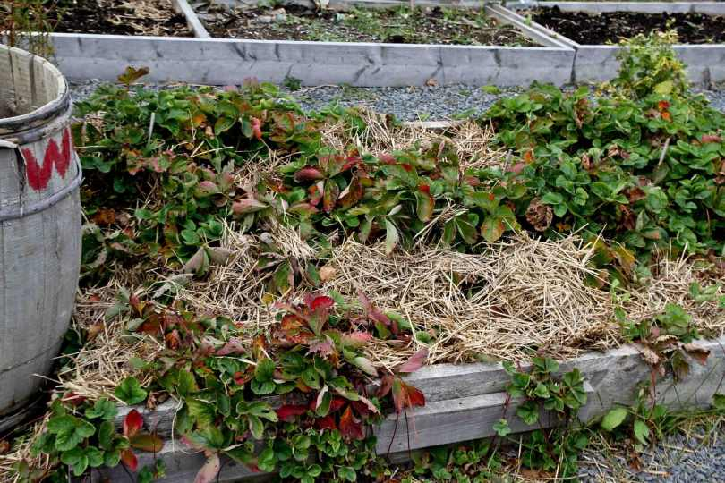 strawberries tucked in for th winter with straw.