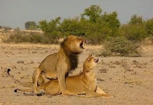 Lion Passion