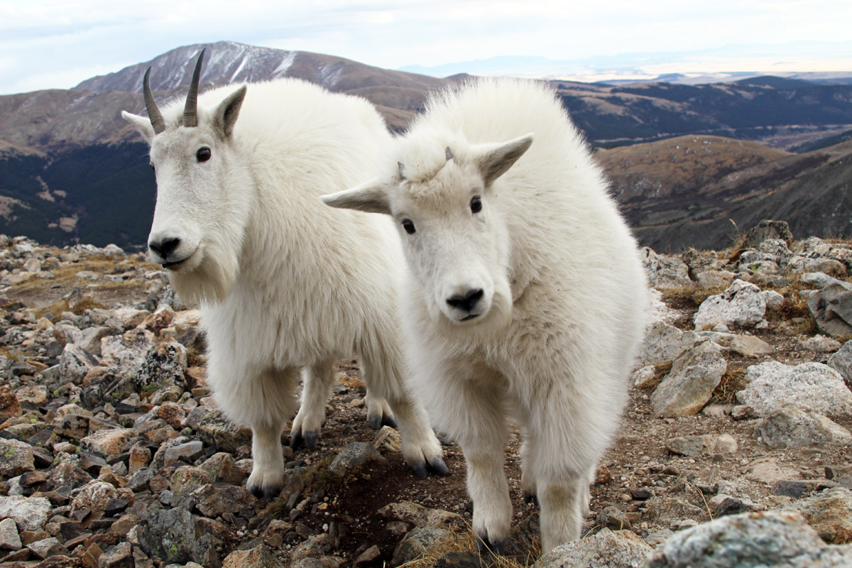 Mountain Goat Kids Kick Up Their Heels