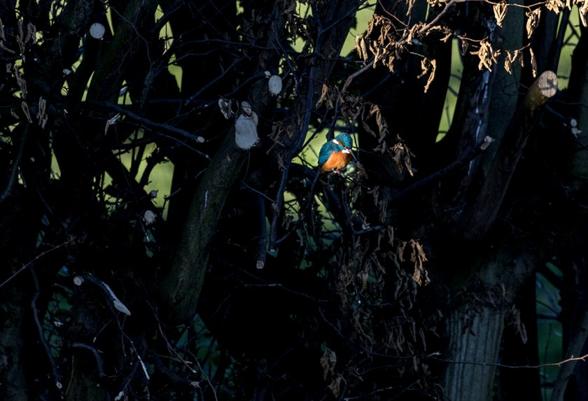 Kingfisher in a beam of light
