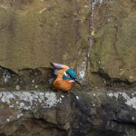 Kingfisher stretching wing while perched on stone wall