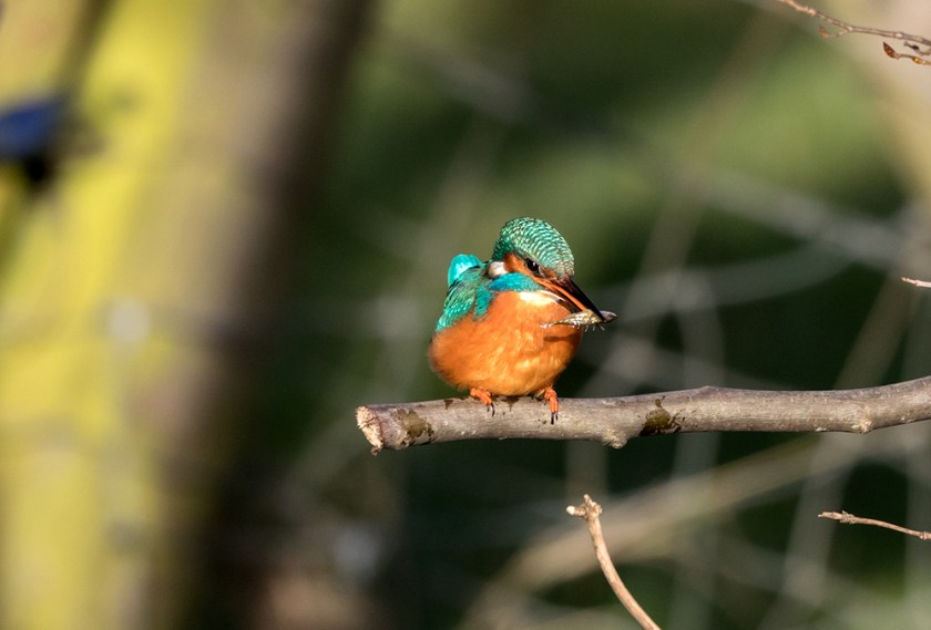 Kingfisher holding stickle back in beak side on