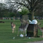 Fallow Deer eating out of bin in Bushy park