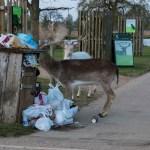 Fallow Deer eating out of bin in Bushy park