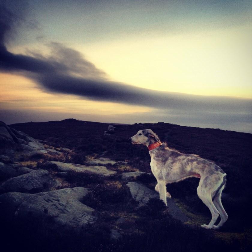Alfie pet dog at dawn on Yorkshire moor