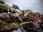 Sea thrift and rock pool in the foreground of Lindisfarne Castle, Lindisfarne, Holy Island