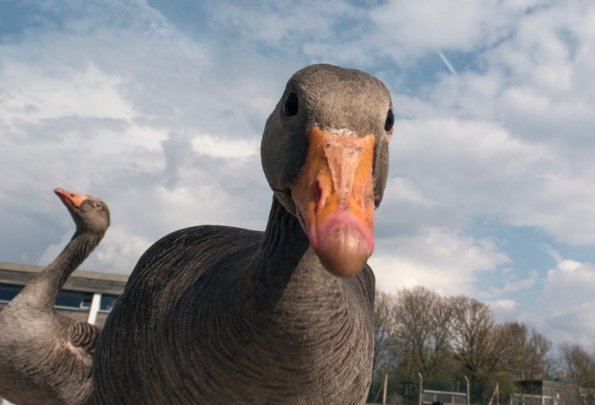 Inquisitive Greylag Goose