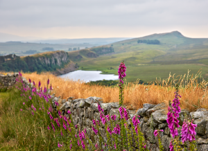 Fox Gloves (Digitalis purpurea) overlooking a great view of Crag Lough and lining the a dry stone wall along a popular route by Hadrian's Wall, Northumberland.