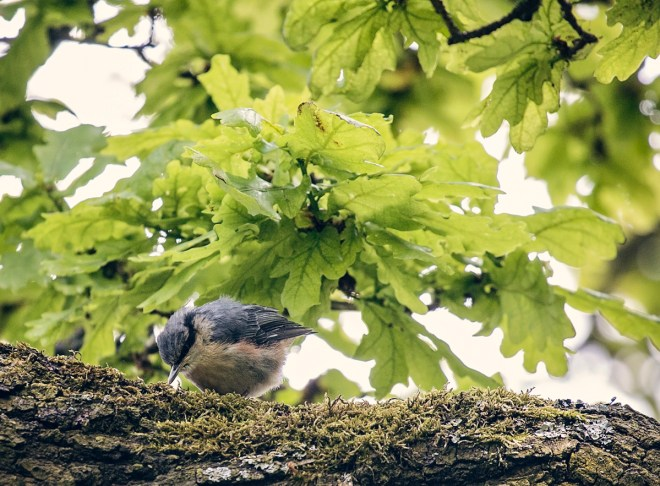 Nuthatch chick / fledgling hunting for bugs on the branch of an oak