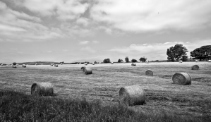 A field of rolled hay bales sitting a field in summer black and white photo