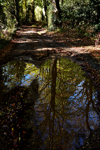 Autumn tree relfected in puddle