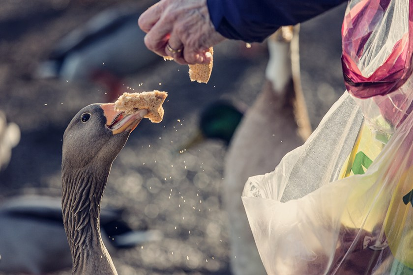 Goose stealing bread from hand