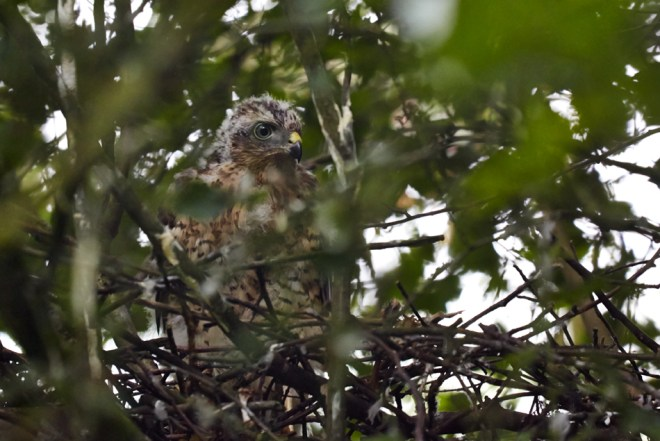 Sparrow Hawk fledgling by nest in woods, Burley in Wharfedale