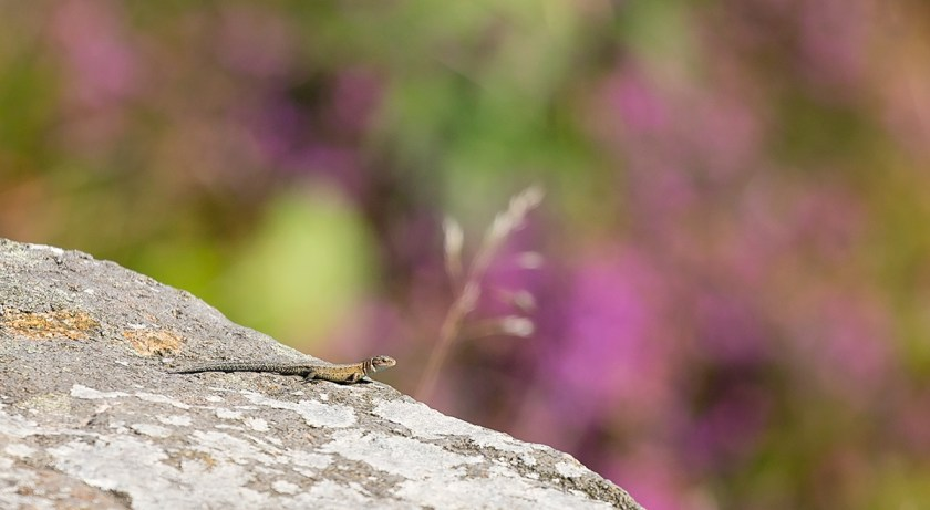Common Lizard on Ilkley Moor