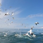 Diving Gannets Panorama
