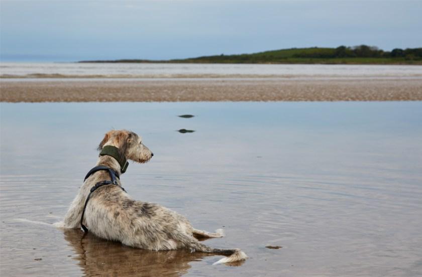 Pet dog Alfie lying on the beach, Bangor