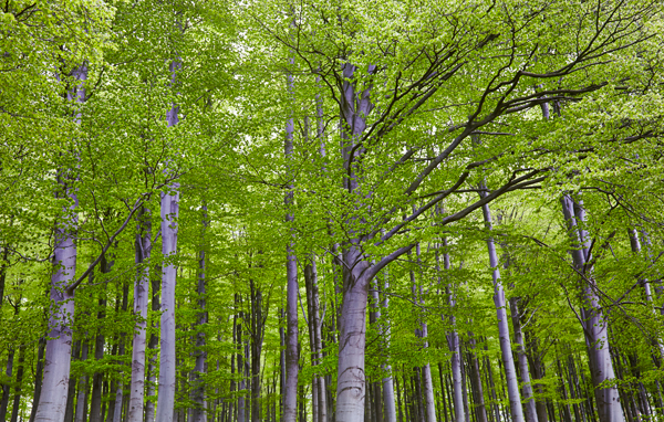 Luscious green leaves on silver grey trees