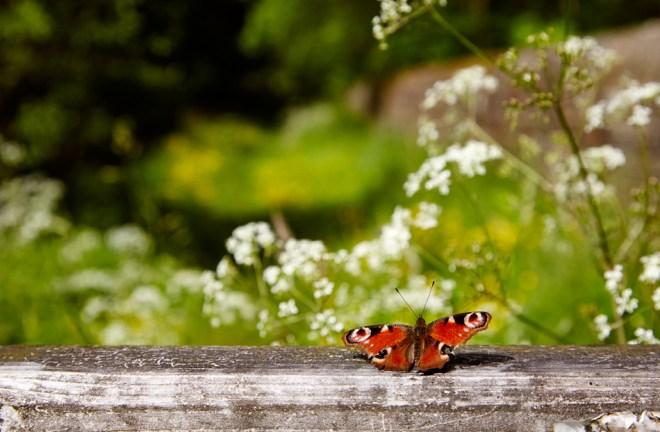 Peackock butterfly, on wooden gate by Swinsty Reservoir