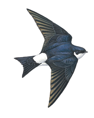 house martin illustration