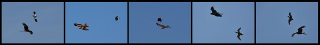 Red kite being attacked