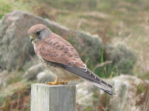 Walks And Walking - Cornwall Walks - Land's End Walking Route - Kestrel