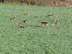 Walks And Walking - Essex Walks Epping Forest Abridge Walking Route - Fallow Deer 1