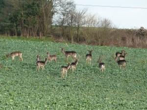 Walks And Walking - Essex Walks Epping Forest Abridge Walking Route - Fallow Deer
