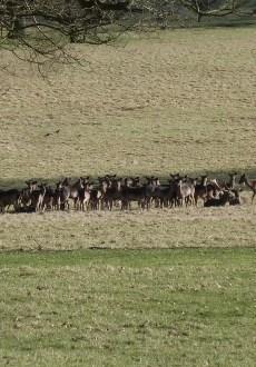 Walks And Walking - Essex Walks Epping Forest Deer Sanctuary Walking Route - The Deers!