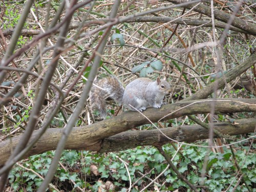 Walks And Walking - Epping Forest Walks - The Chestnut Trail Walking Route - Wanstead Park Squirrel