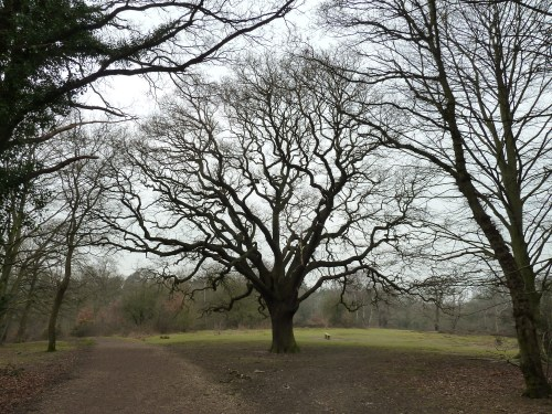 Walks And Walking - Essex Walks Epping Forest Kates Cellar Walking Route - Large Oak Tree And Seat