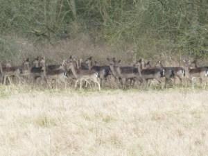 Essex Walks – Epping Forest Fallow Deer Upshire Video - Fallow Deers