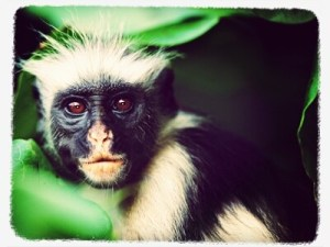 What makes the Mount Kilimanjaro trek one of the worlds best - Colobus monkey